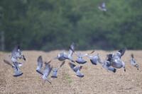 2017_Pigeon Ramier.jpg